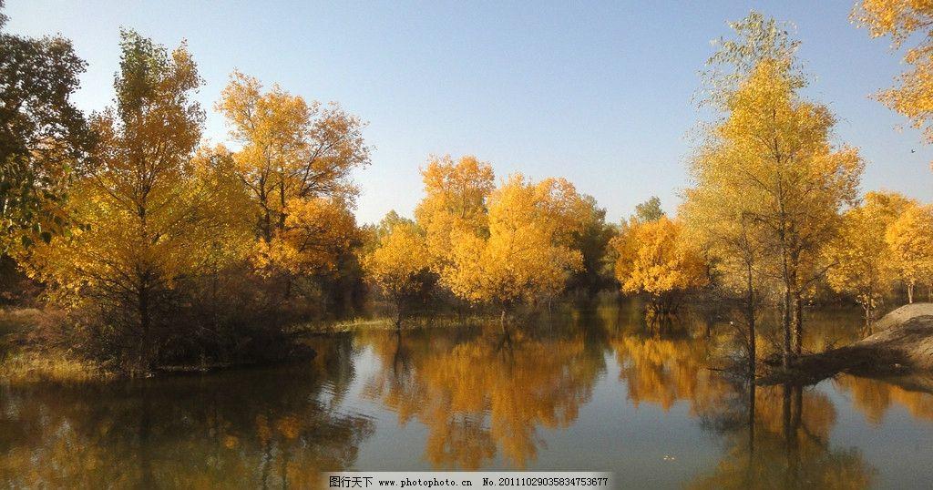 胡杨林 胡杨 蓝天白云 湖水 金黄色 树叶旅游景点 风景名胜 自然景观