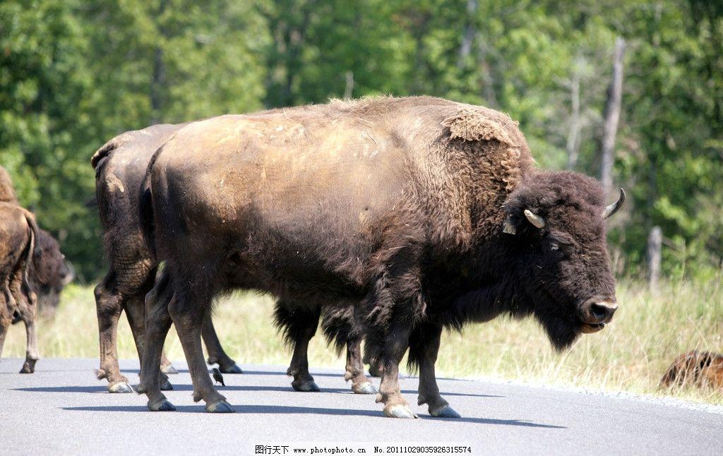 牦牛摄影 家禽 家畜 畜牧业 经济动物