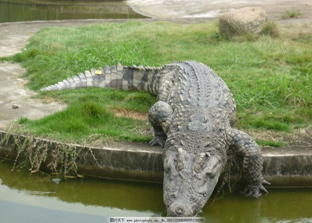 鳄鱼下水 鳄鱼 动物 保护动物 野生动物 生物世界 摄影 180dpi jpg