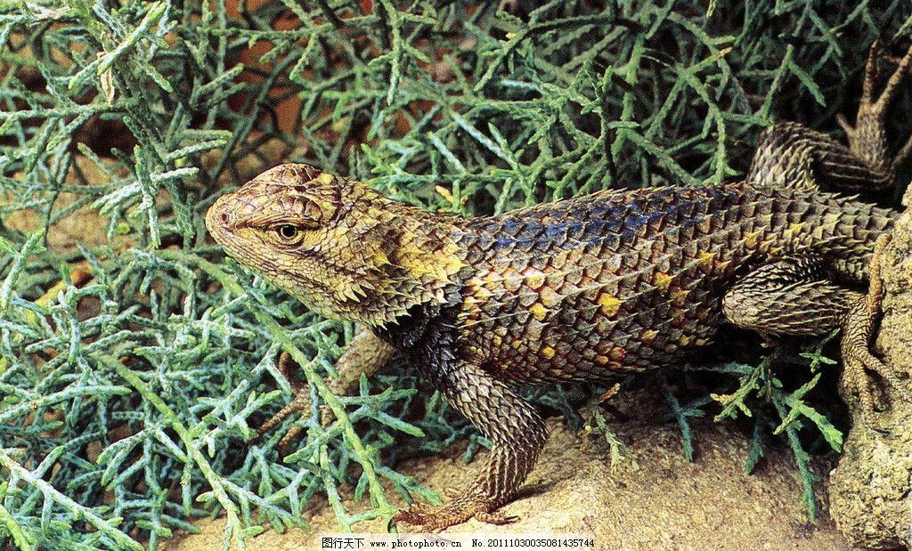 蜥蜴 动物 稀有动物 野生动物 生物世界 摄影 600dpi jpg