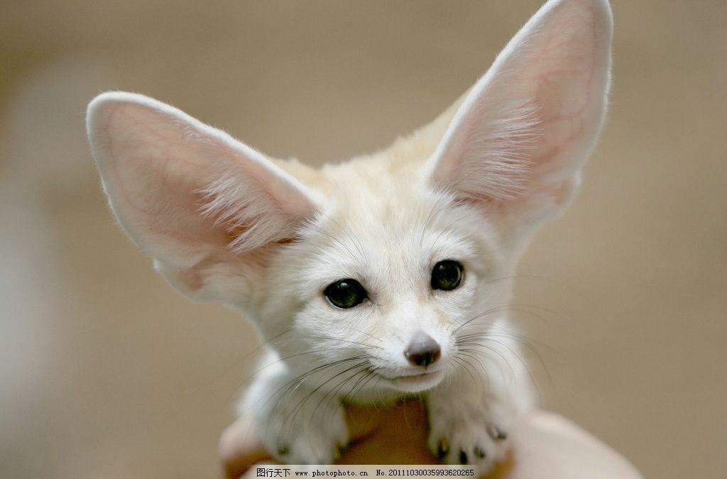 大耳朵小狗 大耳朵 小狗 白色 可爱 宠物 家禽家畜 生物世界 摄影 72d