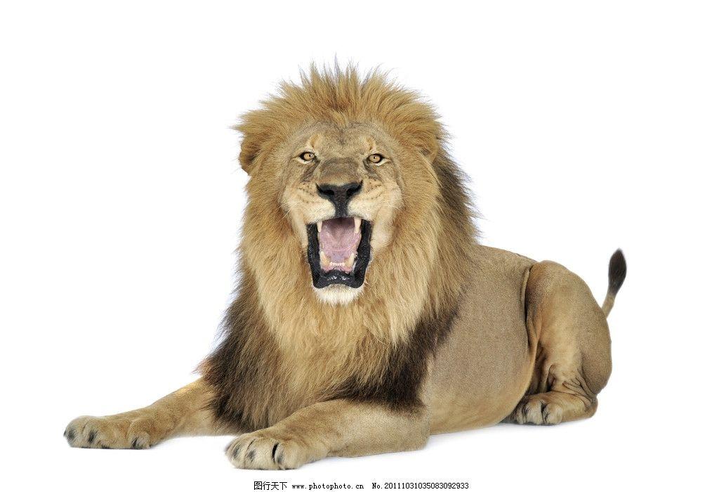 狮子 动物 野兽 野生动物 生物世界 摄影 300dpi jpg