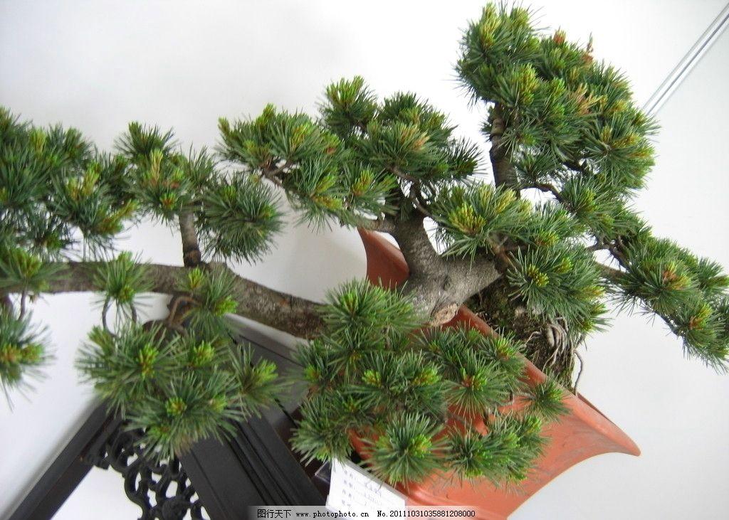 盆景 景观 树木盆景 松树 树木树叶 生物世界 摄影 180dpi jpg