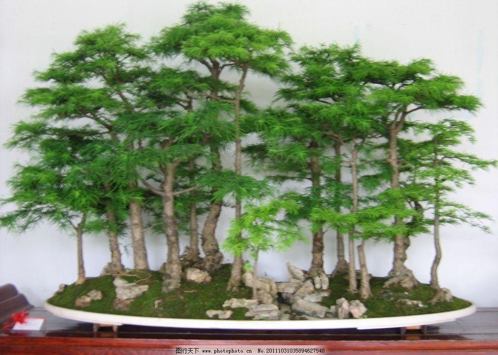 盆景 小树 众多树 树木盆景