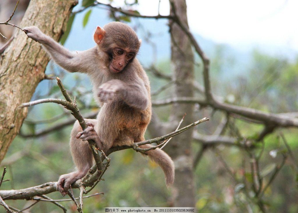 猴子 猕猴 猴 动物 野生动物 哺乳动物 动物世界 自然生态 生物世界