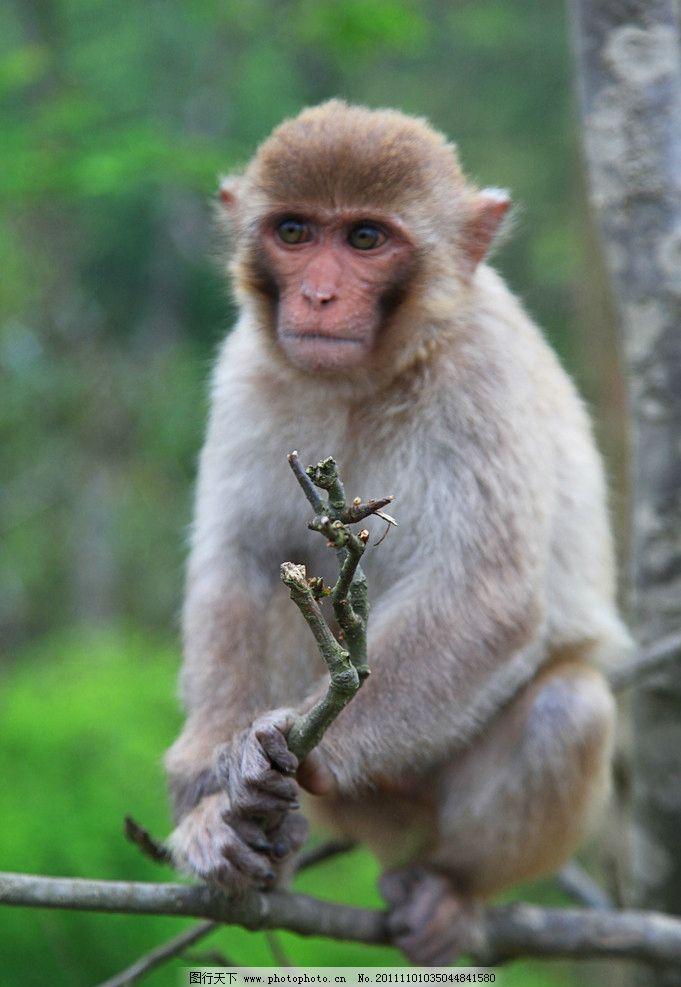 猴子图片_野生动物_生物世界_图行天下图库