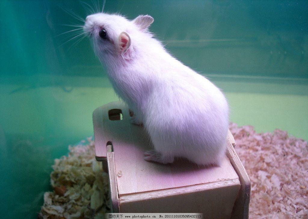 仓鼠 花仓 老鼠 鼠 宠物 动物 野生动物 生物世界 摄影 72dpi jpg