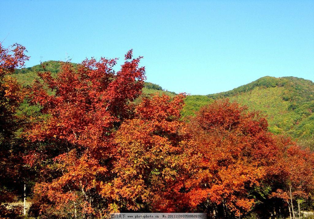 金秋树林 金秋 秋天 公园 园林 树林 枫树 枫叶 森林 森林公园 生态