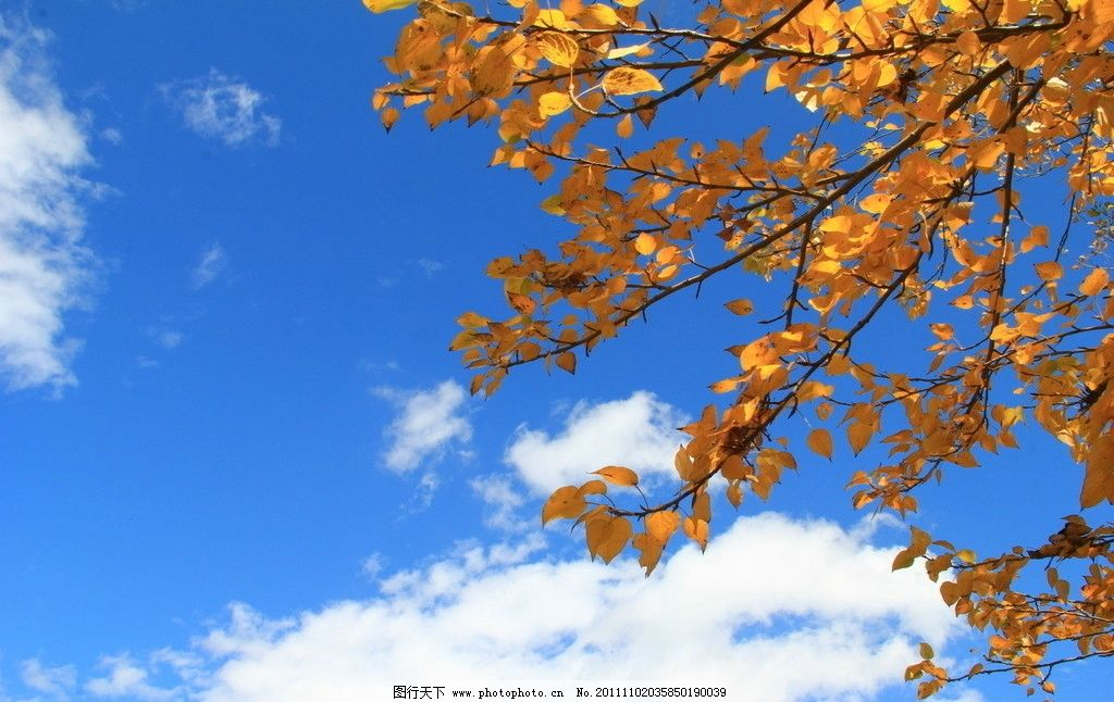树枝 秋叶 自然 蓝天 白云 自然风景 摄影图片 摄影 jpg 树木树叶