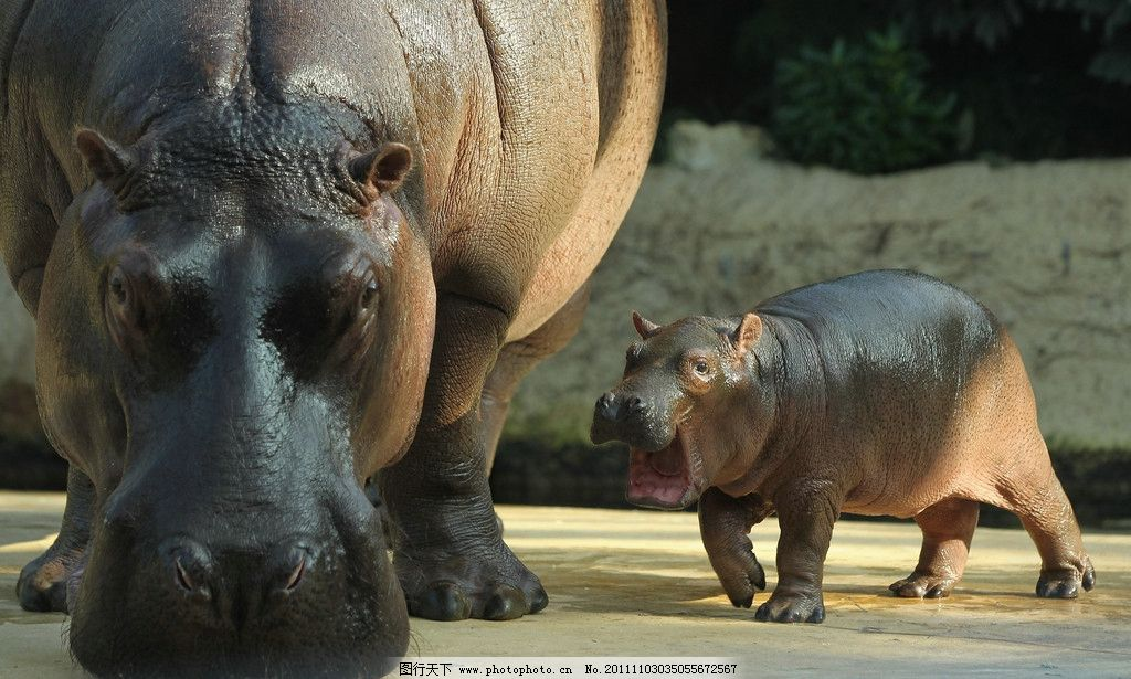 河马母子 母子情 河马 河水 阳光 野生动物 生物世界 摄影 72dpi jpg
