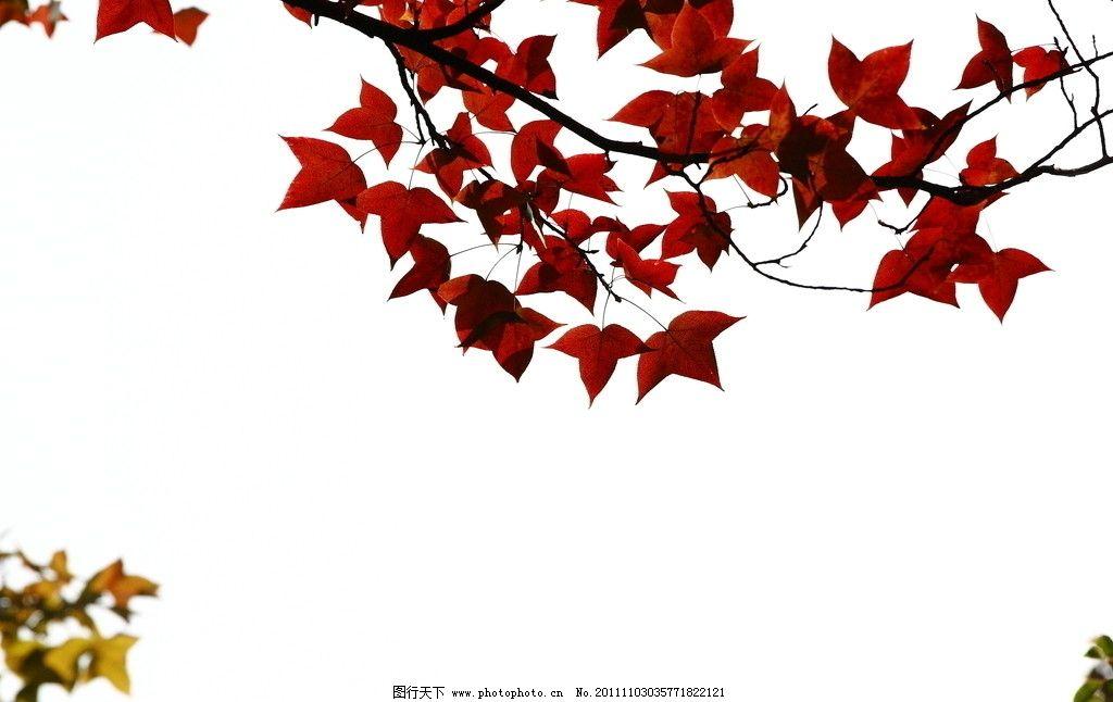 枫叶 秋天 天空 红色 透明 阳光 花草树木 花草 生物世界 摄影 350dpi