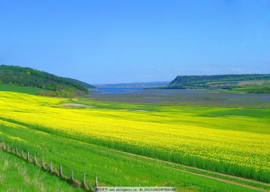 油菜 黄油菜 油菜花图片 美丽风光 美丽风景 风光图片 田园风光 自然