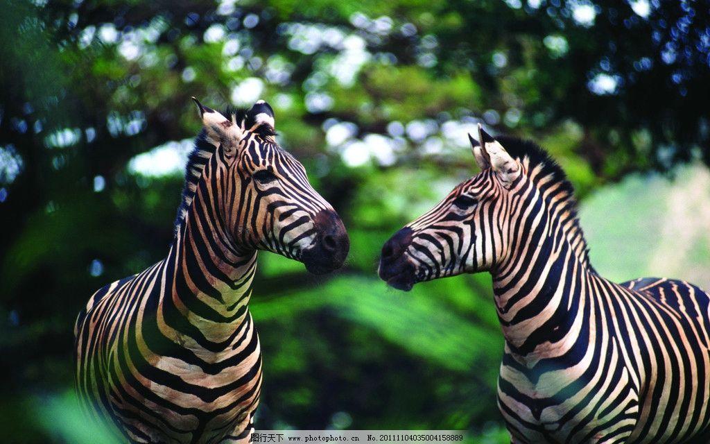斑马 非洲 草地 动物世界