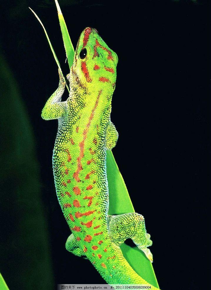 蜥蜴(非高清) 摄影 生物世界 爬行动物 稀有动物 野生动物