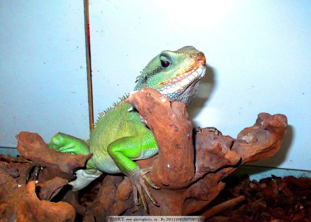 宁波海洋世界蜥蜴 宁波海洋世界 蜥蜴 爬行类 两栖类动物 生物世界
