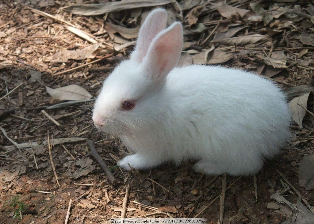 小白兔子 可爱 小白兔 白兔 亲亲小白兔 竖起耳朵 家禽家畜 生物世界