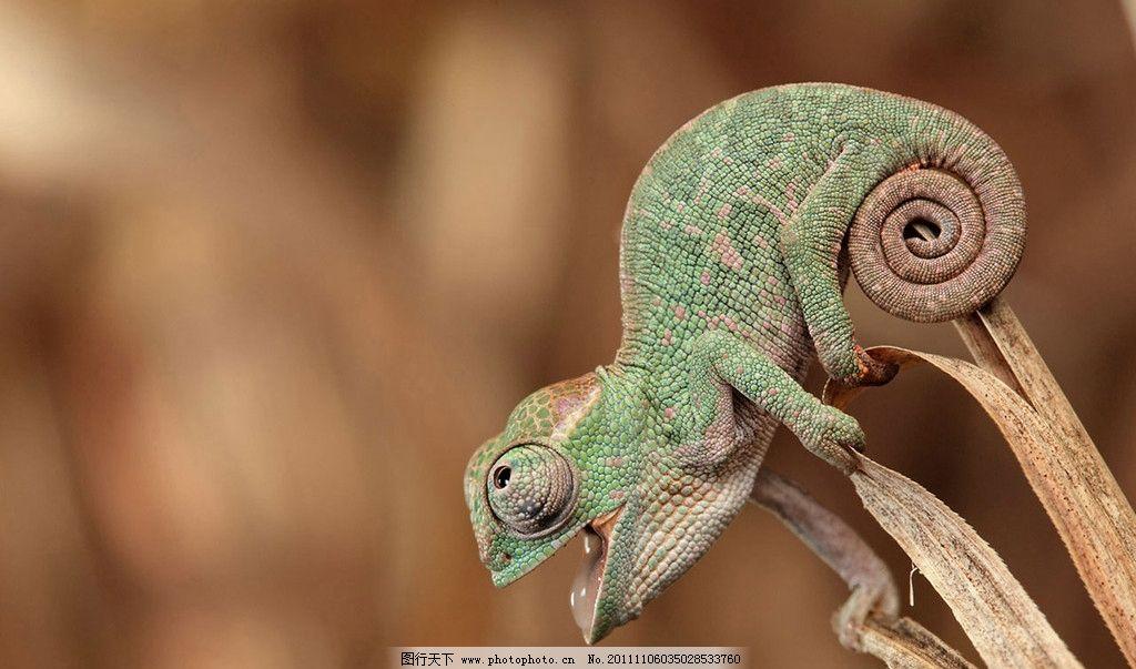 变色龙图片 变色龙 花斑 生物 动物 眼睛 条纹 高清素材 图片素材