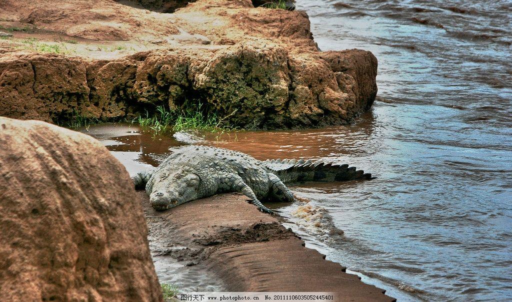 鳄鱼图片 鳄鱼 岸边鳄鱼 猛兽 两栖动物 冷血动物 水族馆 水箱 动物园