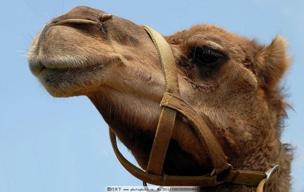 骆驼 沙漠骆驼 大骆驼 骆驼头部特写 高清骆驼 野生动物 生物世界