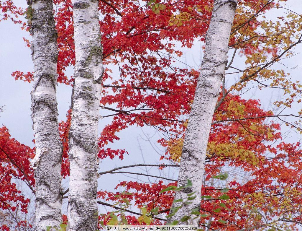 白桦树林 天空 枫叶 红叶 树木树叶 生物世界 摄影 300dpi jpg
