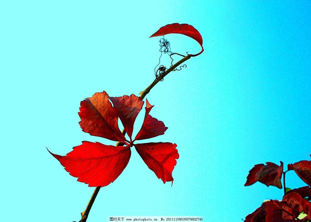 一叶知秋 一枝红叶 湛蓝色 天空 树木树叶 生物世界 摄影 480dpi jpg