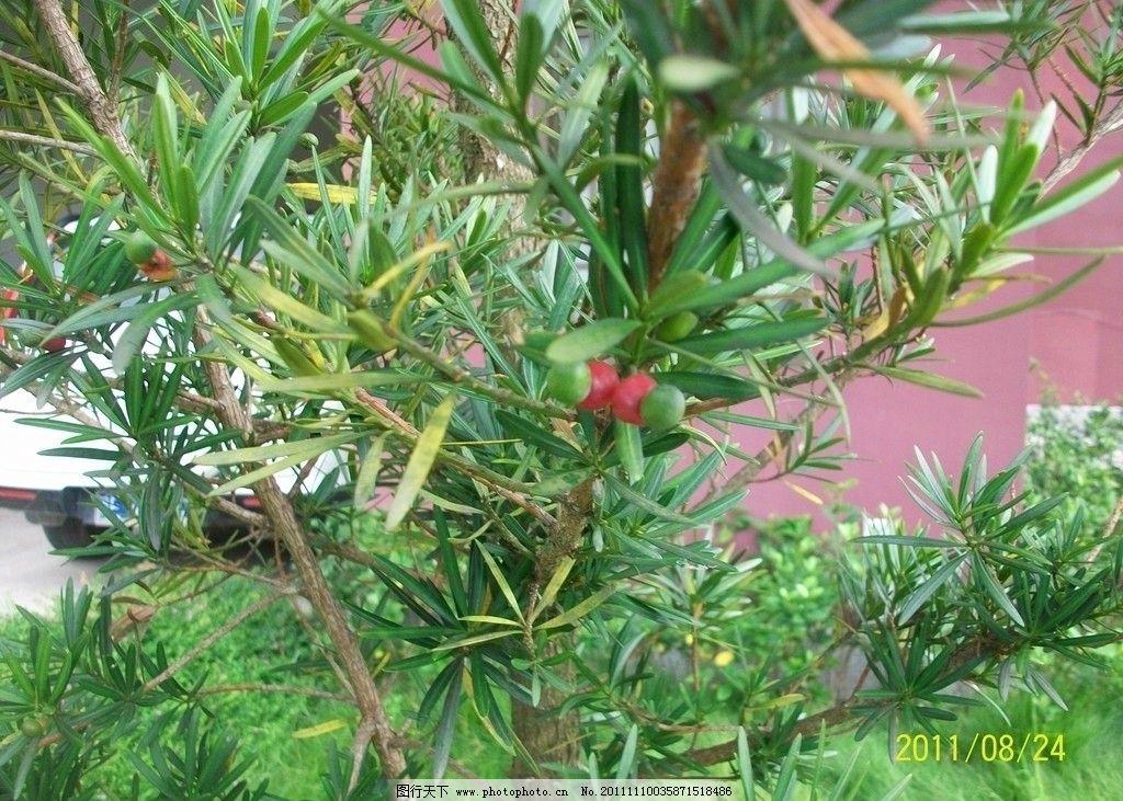 红豆杉图片_树木树叶_生物世界_图行天下图库