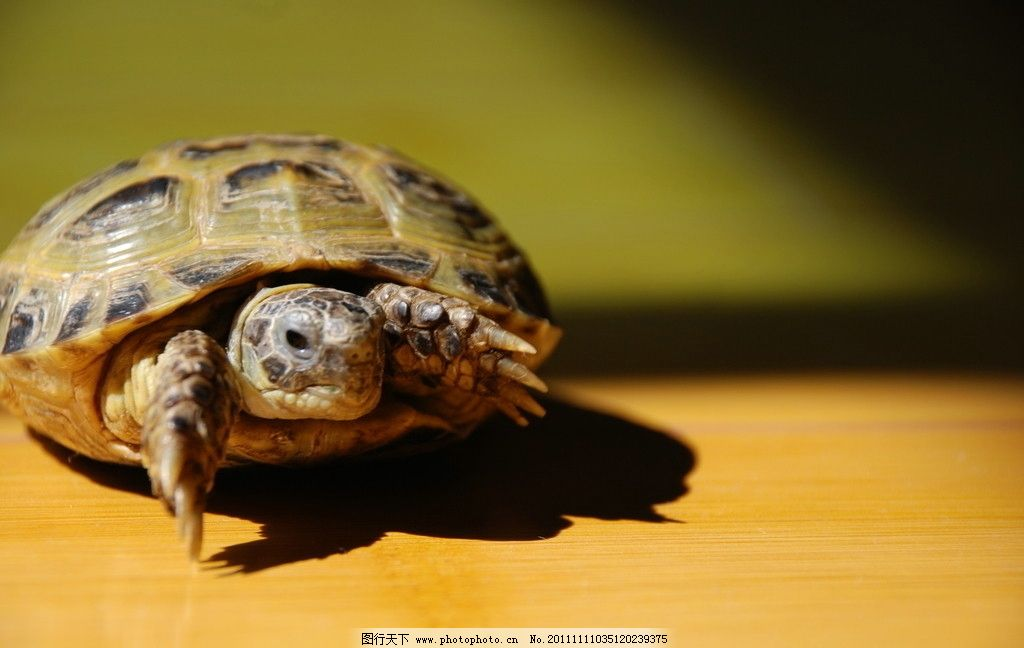 乌龟 动物 爬行动物 地板 摄影 家养 冷血动物 黑背景