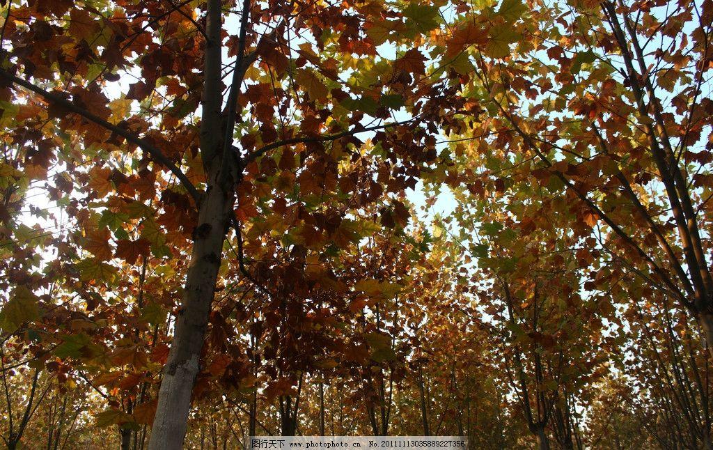 秋林 法国梧桐 深秋 林中 落叶 树木树叶 生物世界 摄影 72dpi jpg