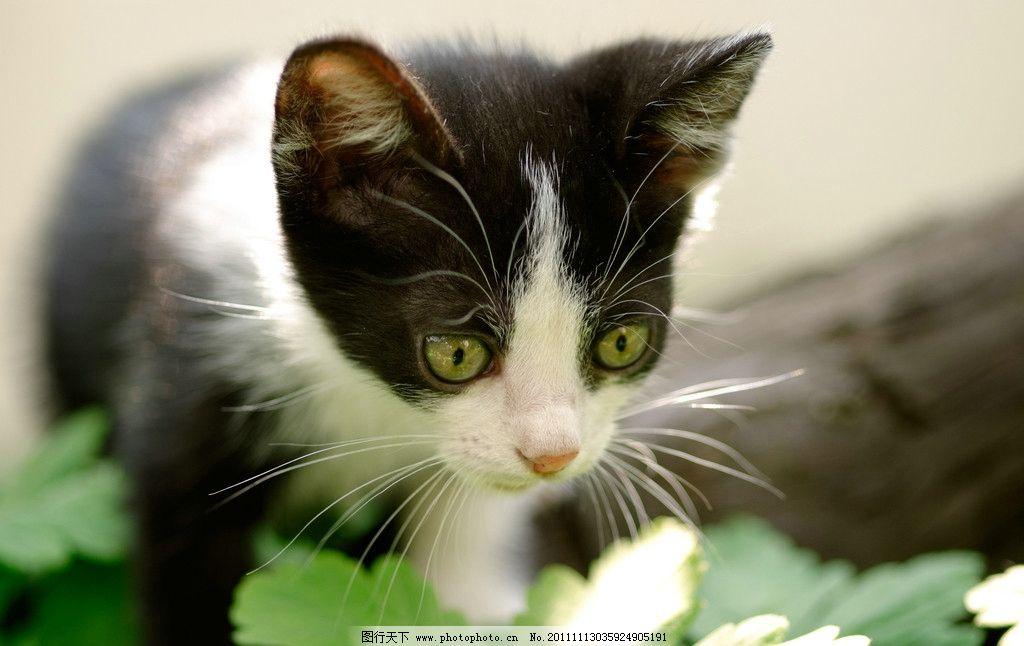 猫咪 小猫咪 可爱猫咪 专注 家猫 黑白猫 宠物猫 小花猫 家禽家畜