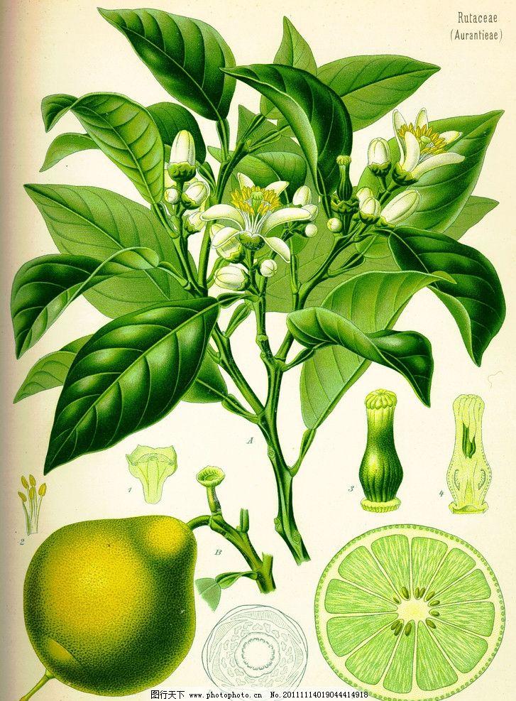 手绘柚子图片
