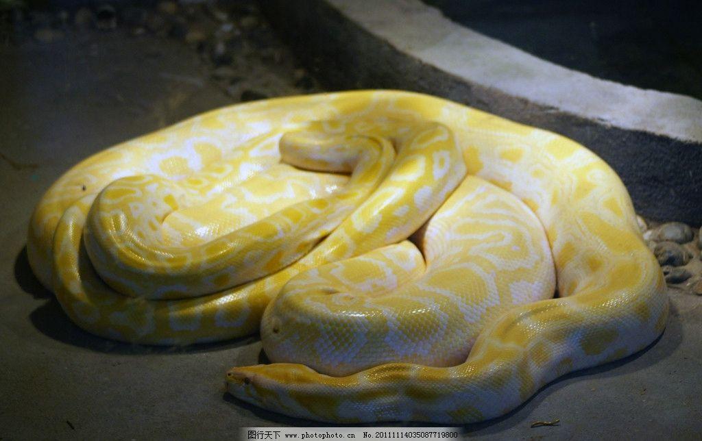 大蟒蛇 黄色 黄金蟒 野生动物
