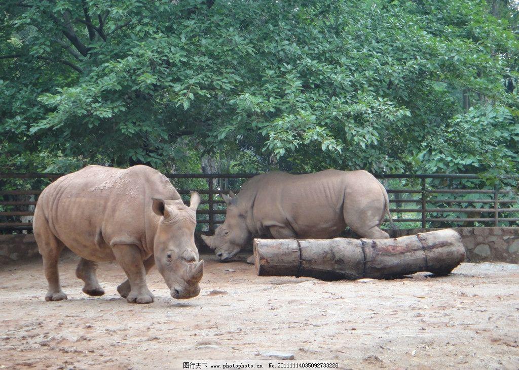 犀牛 动物园 野生动物 生物世界 摄影 300dpi jpg