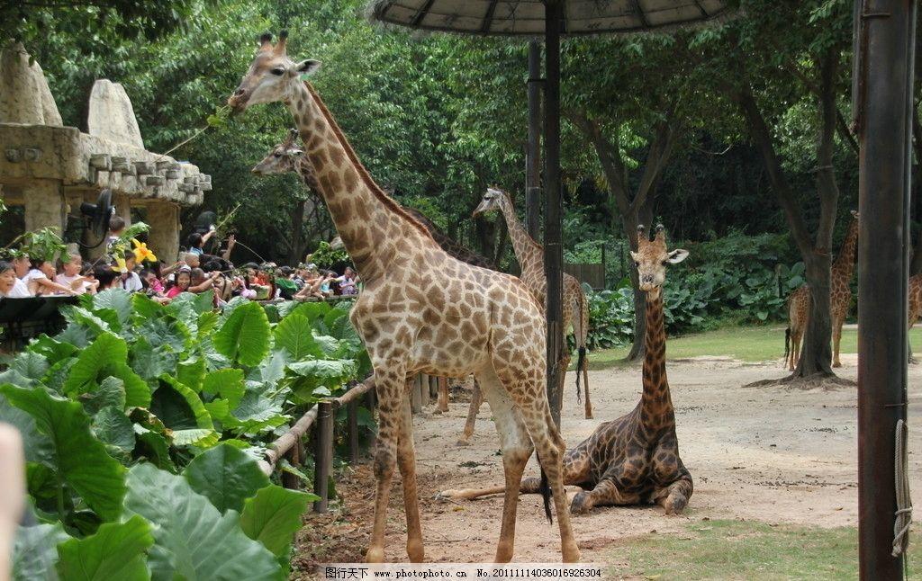 长颈鹿 长颈鹿吃树叶 长隆野生动物园长颈鹿 其他生物 生物世界 摄影