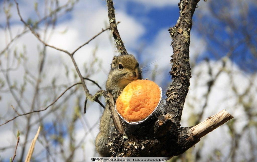 松鼠与蛋挞 香格里拉 普达措 松鼠 野生动物 生物世界 摄影 72dpi jpg
