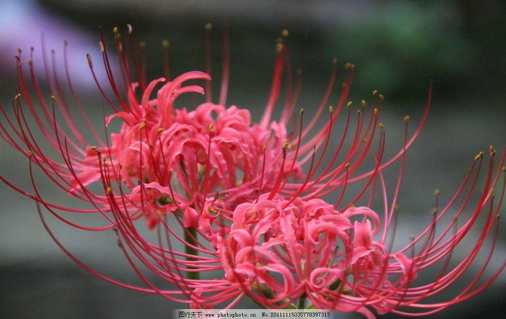 彼岸花 曼珠沙華 花卉 桌面壁紙 花草 生物世界 攝影