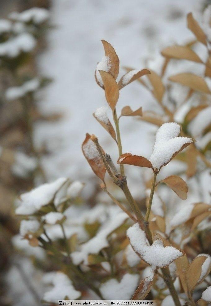 雪中枯黄的树叶 下雪 植物 树叶 枯萎 树木树叶 生物世界 摄影 300dpi