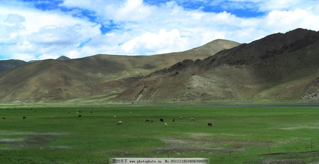 草原 牛群 西藏 高原 藏族 牧场 摄影 风景 风光 青藏高原