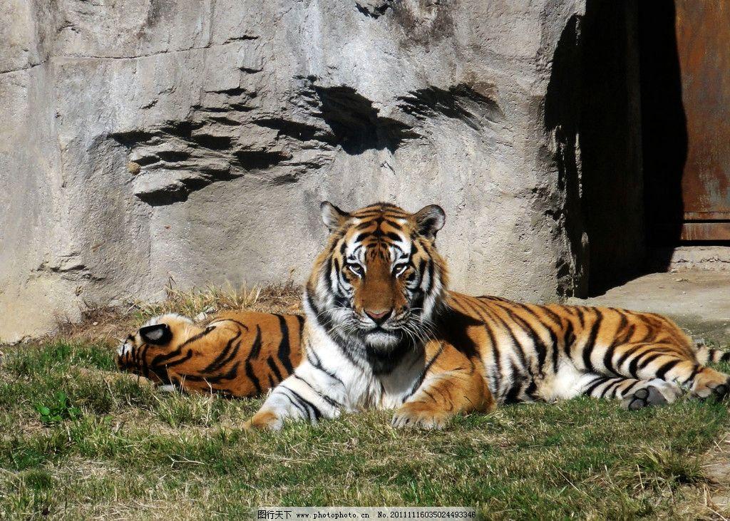 老虎 草地 洞穴 山石 野生动物 生物世界 摄影 72dpi jpg