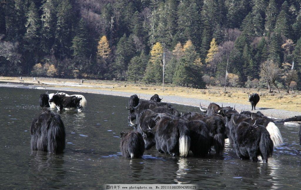 牦牛 河流 树木 深林 野生动物 生物世界 摄影 72dpi jpg