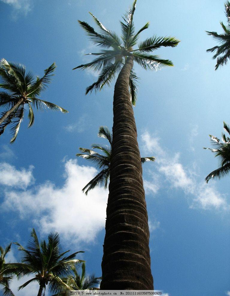 椰子树 摄影素材 树木摄影 热带树木 树木 椰树 椰树图片 树木树叶