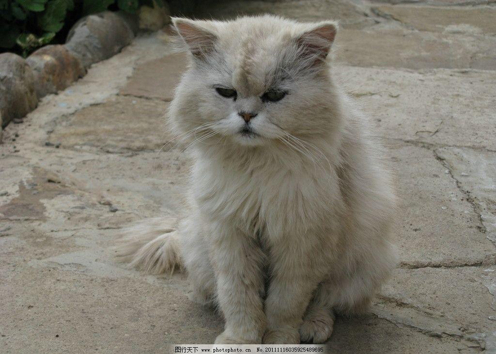白色家猫图片,可爱 宠物 摄影-图行天下图库