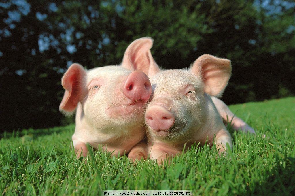 宠物小猪图片