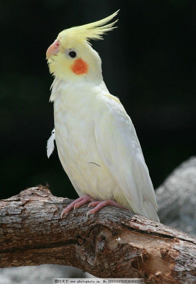 鹦鹉 动物摄影 鸟类摄影 鸟类图片 鹦鹉图片 鹦鹉素材 鸟类 生物世界
