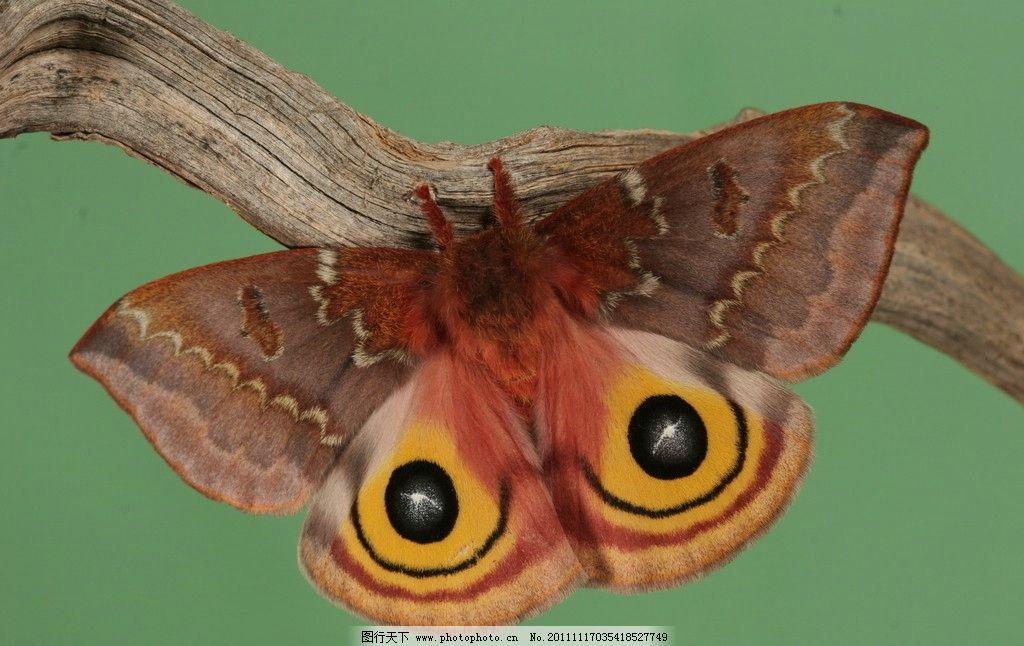 蝴蝶 摄影素材 动物摄影 昆虫摄影 昆虫 蝴蝶图片 蝴蝶素材 蝴蝶图片