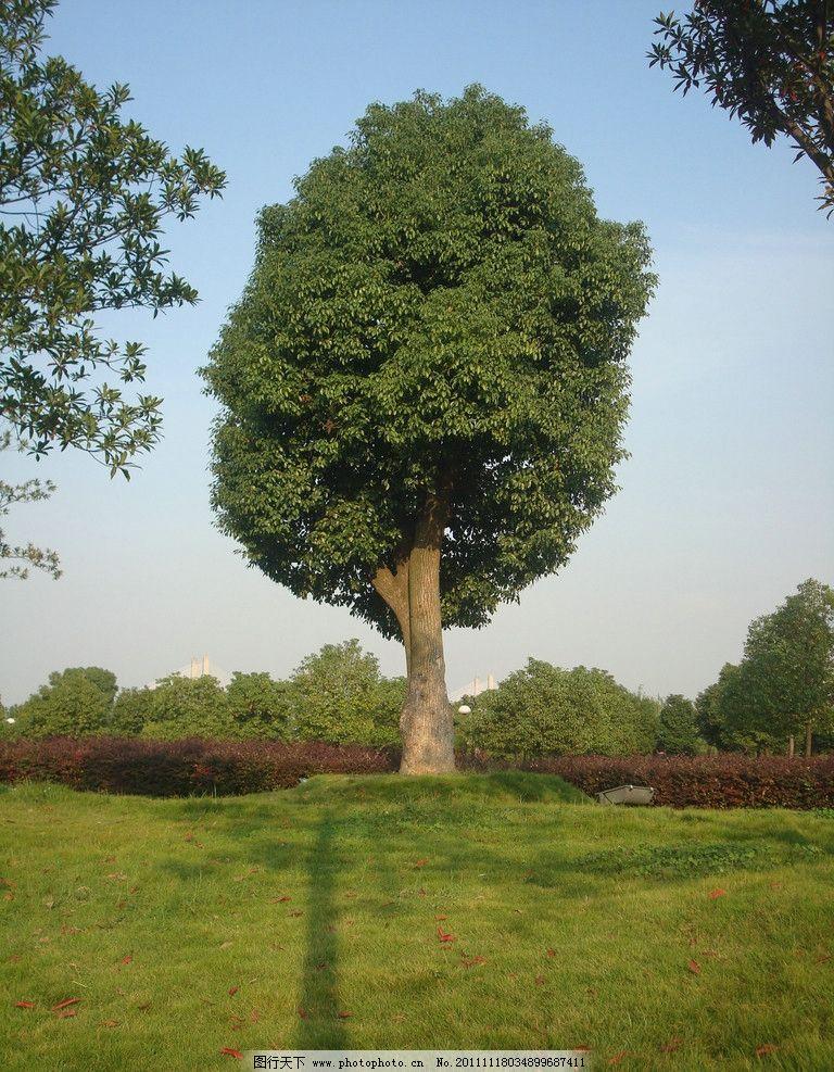 大学校园 雪松 草地 草坪 树木 校园风景 自然风景 园林景观