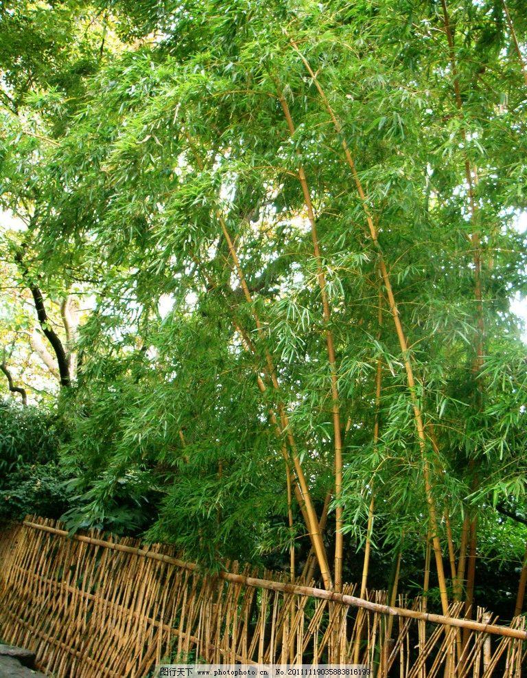 竹林 竹竿 绿叶 竹篱笆 树木树叶 生物世界 摄影 72dpi jpg图片
