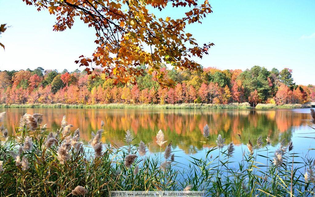 秋天户外风景 秋天森林 风景 金黄树叶 公园 美景 蓝天 清爽 落叶