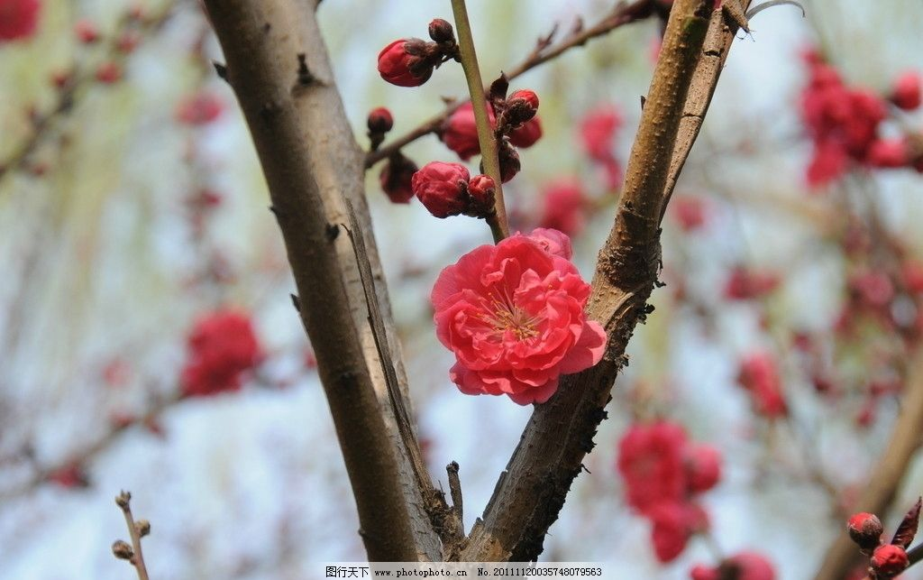 桃花朵朵 红色 桃花 春天里 花草 生物世界 摄影 300dpi jpg