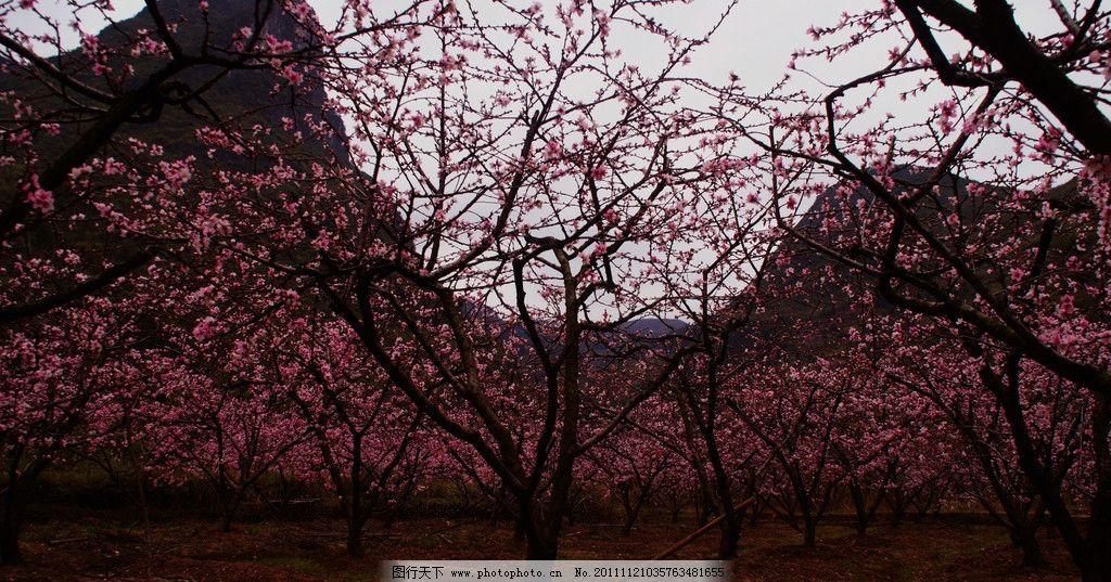 春天美丽的桃花图片