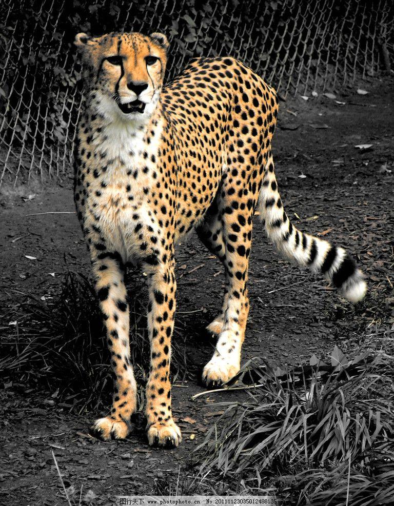 猎豹 动物摄影 动物图片 豹子 金钱豹 豹子图片 食肉动物 猫科动物